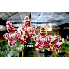Phal. Chienlung Dream Bouquet #1