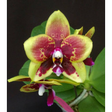 Phal. Chienlung Sweet Parrot Titan