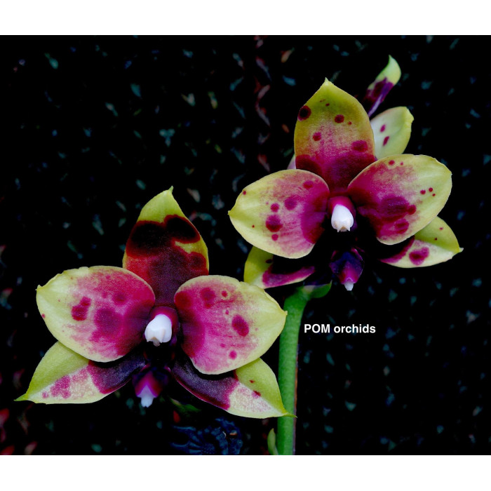 Phal. Chienlung Sweet Parrot