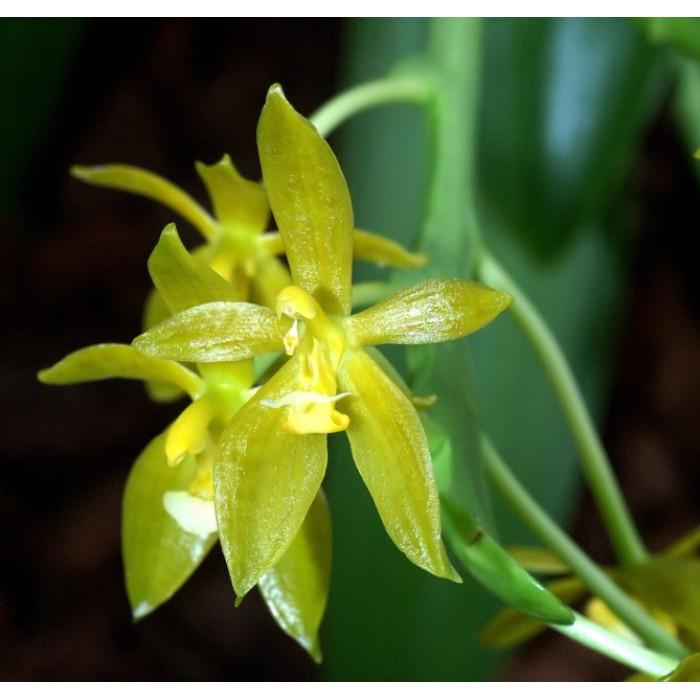 Phal. Cornu-cervi Green