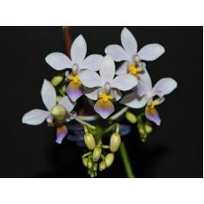 Phal. Equestris Blue × sib