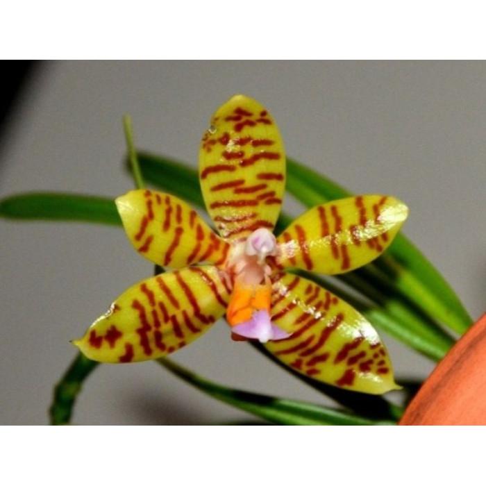 Фаленопсис (Fasciata x sib)