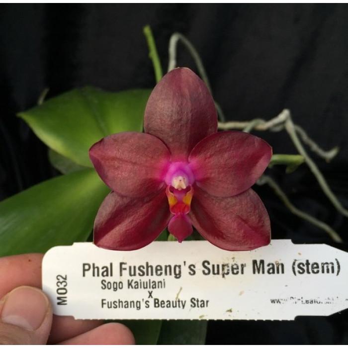Phal. Fushengs Super Man Mituo