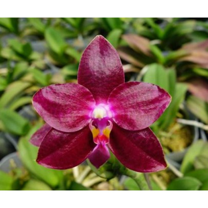 Phal. Fushengs Super Man