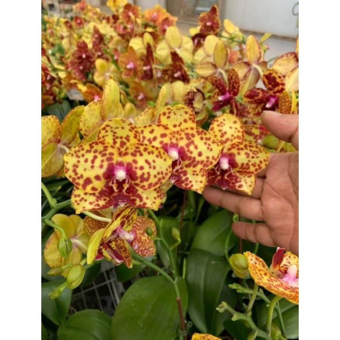 Phal. GW Green World x Yaphon Goldrose