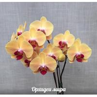 Phal. Golden Beauty 1,7