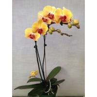 Phal. Golden Beauty 1,7 уценка