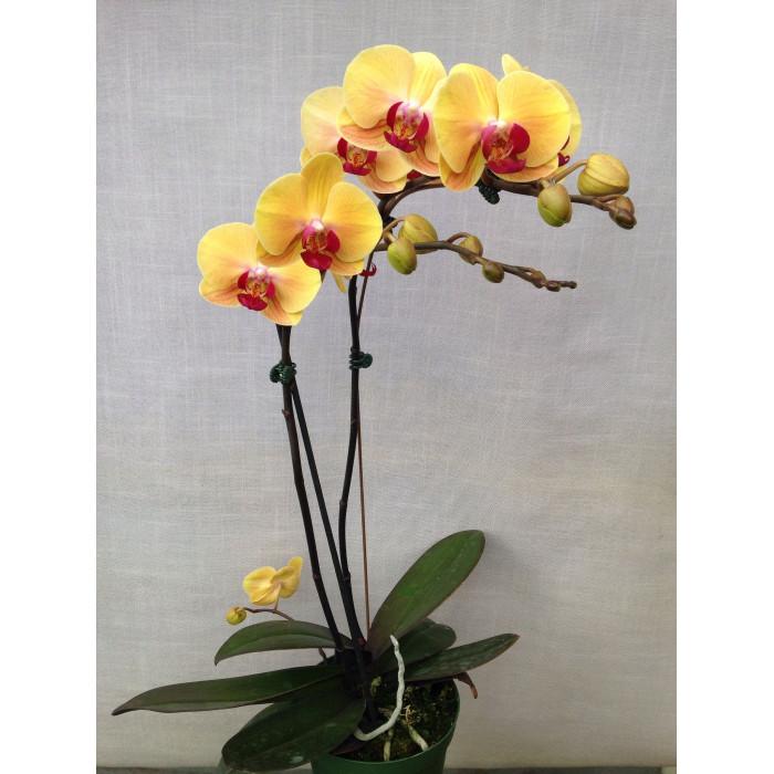 Фаленопсис (Golden Beauty 1,7 уценка)
