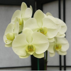 Phal. Green Earth уценка
