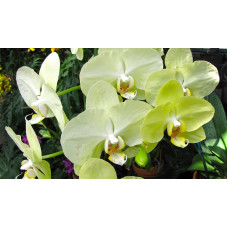 Phal. Green Yellow Green Joe 2,5 уценка