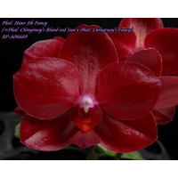 Phal. Haur Jih Fancy BP-A06669