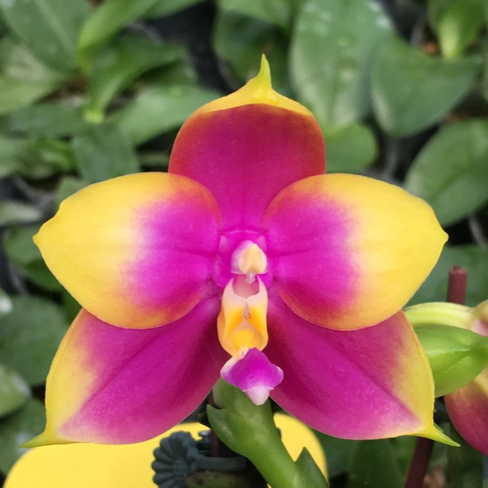 Phal. Hawaii Dragon Girl