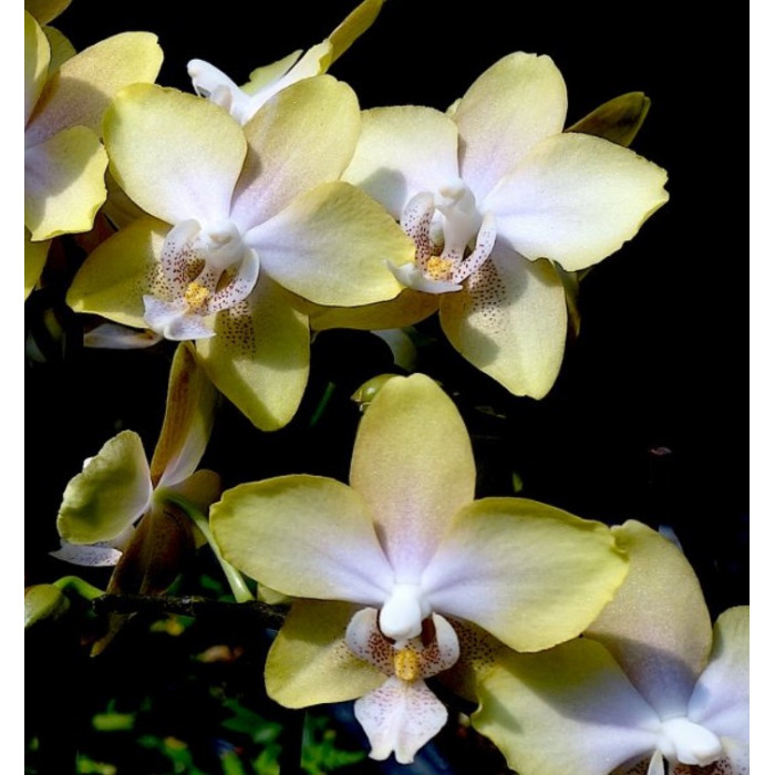 Phal. I-Hsin Maple Valley