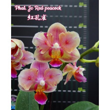 Phal. Jc Red Peacock бабочка