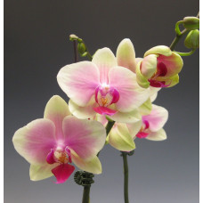 Phal. Jiaho Kitty Face Rainbow 2,5