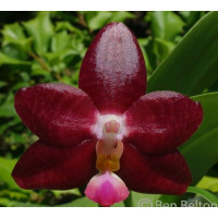 Phal. Jongs Gigan Cherry Jon x LDs Bear King red уценка