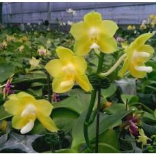 Phal. Joy Spring Canary Flava