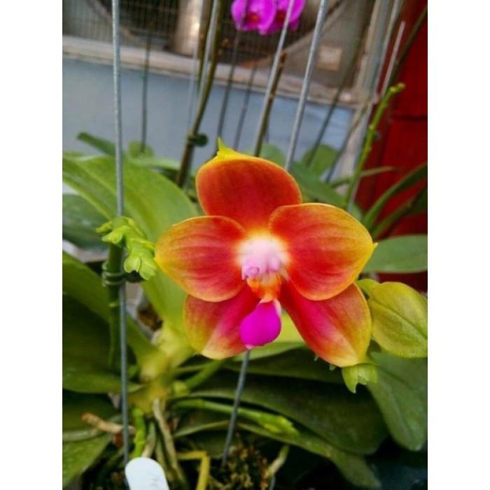 Фаленопсис Джой Спринг Канари Оранж (Joy Spring Canary Orange)