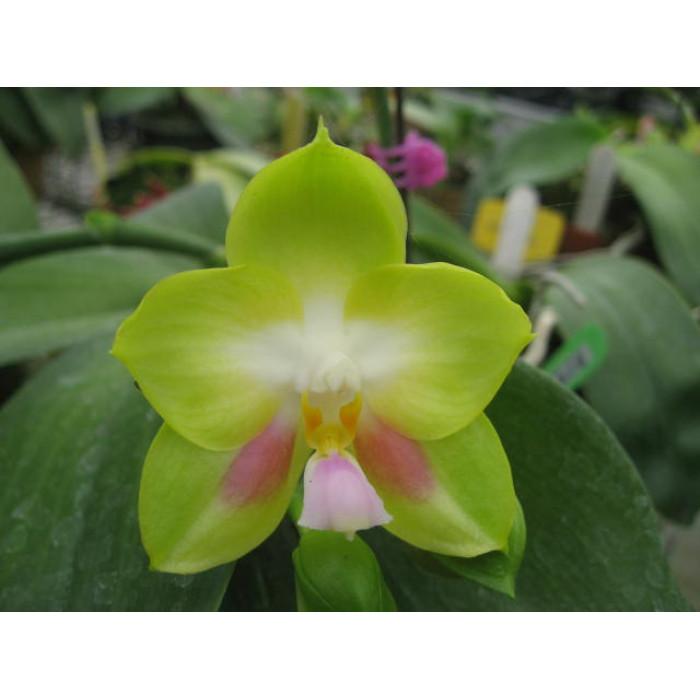 Фаленопсис Джой Спринг Канари Яфон (Joy Spring Canary Yaphon 3,5)