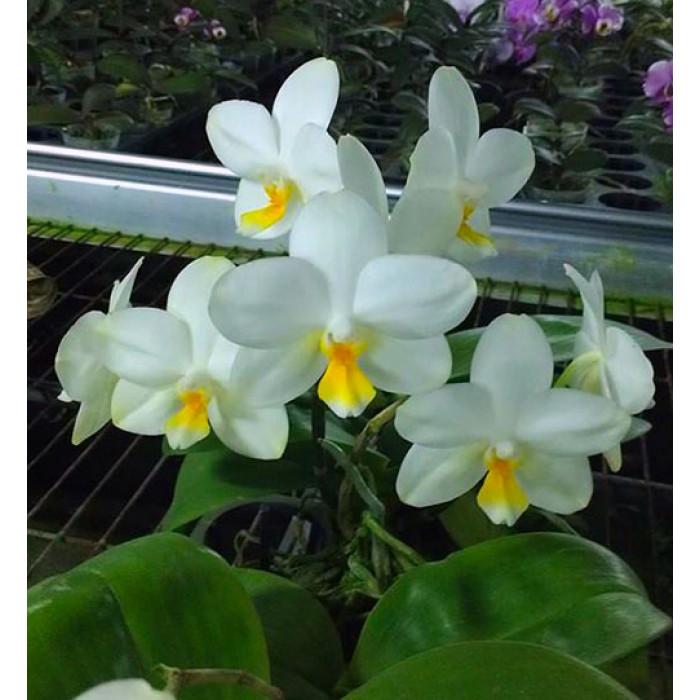 Phal. Joy Spring Venus Tina