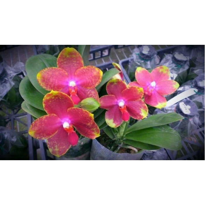 Phal. Jungo Candy
