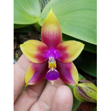 Phal. LD Bellina Eagle