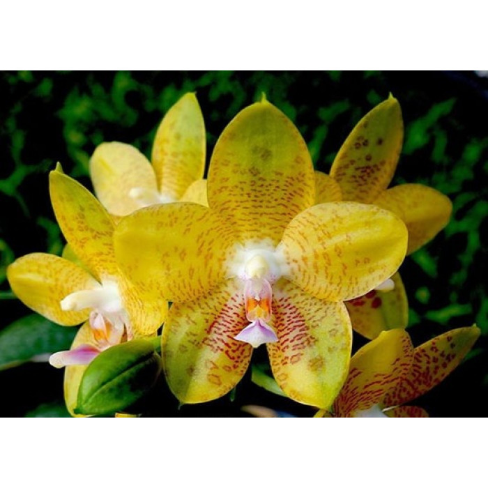 Phal. LD Giga King Princess подростки