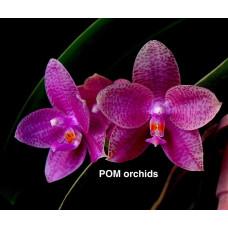 Phal. LD Mok Chio Pink 2,5
