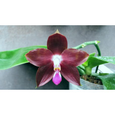 Phal. LDs Bear King x Yaphon Goodboy