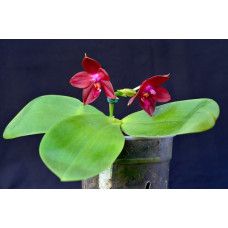 Phal. Lds Bear King RK 4 уценка