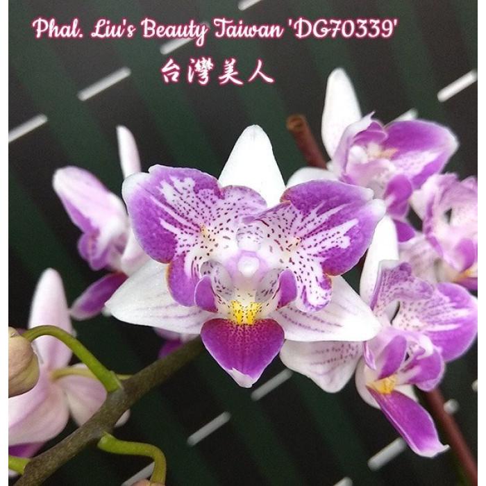 Фаленопсис Льюис Бьюти Тайвань ДЖ70339 (Lius Beauty Taiwan DG70339 бабочка)