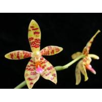 Phal. Maculata x Cornu-cervi