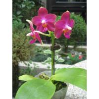 Phal. Meidarland Violacea Beauty MD