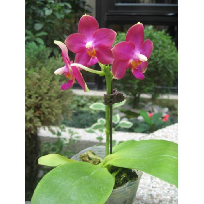 Фаленопсис (Meidarland Violacea Beauty MD)