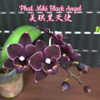 Phal. Miki Black Angel