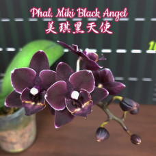 Phal. Miki Black Angel