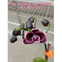 Phal. Miki Black Pearl DB1592