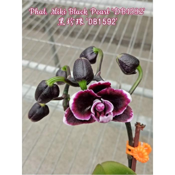 Фаленопсис (Miki Black Pearl DB1592)