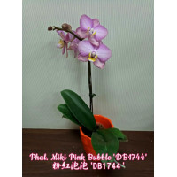 Phal. Miki Pink Bubble DB1744