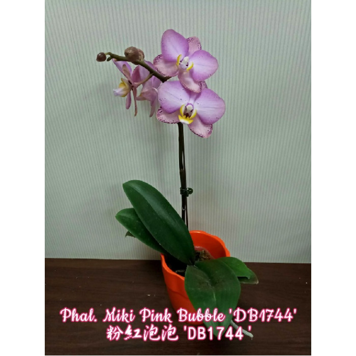 Фаленопсис (Miki Pink Bubble DB1744)