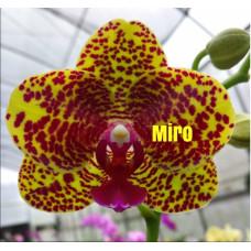Phal. Miro Spring Girl Miro #5