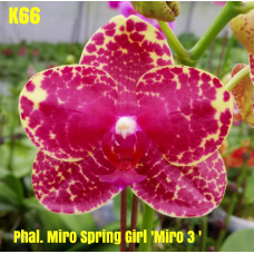 Phal. Miro Spring Girl Miro