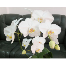Phal. Misty Mountain