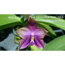 Phal. Mituo Blue Bear M-5