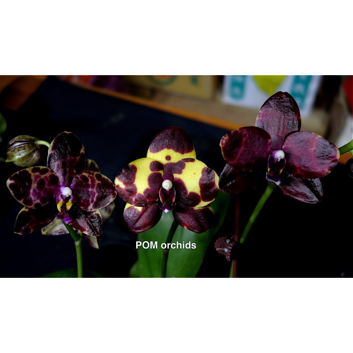Phal. Mituo Diamond (YK7)