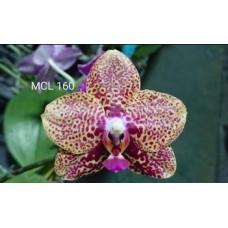 Phal. Mituo Diamond 578-10