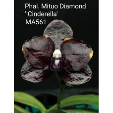 Phal. Mituo Diamond Cinderella