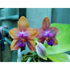 Phal. Mituo GH King Star Blueberry