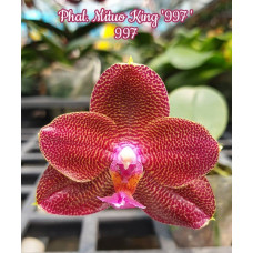 Phal. Mituo King 997