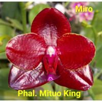 Phal. Mituo King Miro